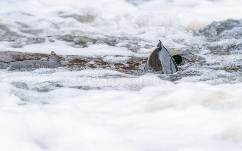 Atlantyckiego łososia skaczący gwałtowni znajdować gniazdujący miejsce Rybi swimm zdjęcia royalty free