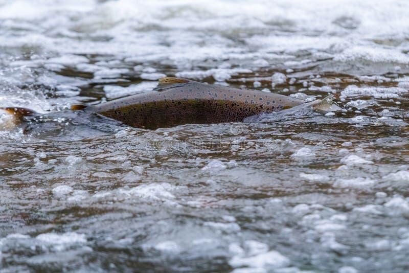 Atlantyckiego łososia skaczący gwałtowni znajdować gniazdujący miejsce Rybi swimm obraz royalty free