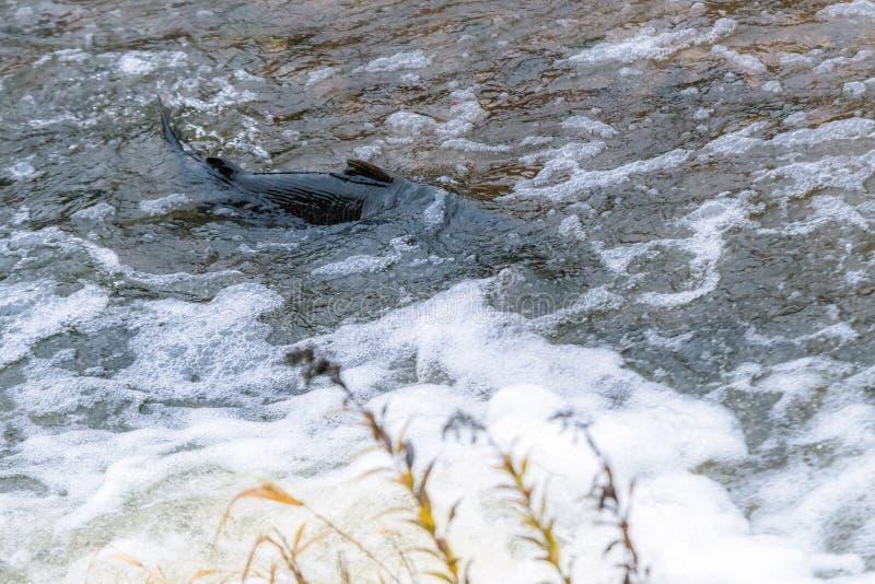 Atlantyckiego łososia skaczący gwałtowni znajdować gniazdujący miejsce Rybi swimm fotografia stock