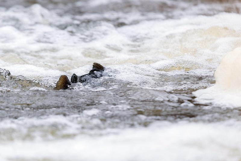 Atlantyckiego łososia skaczący gwałtowni znajdować gniazdujący miejsce Rybi swimm obrazy stock