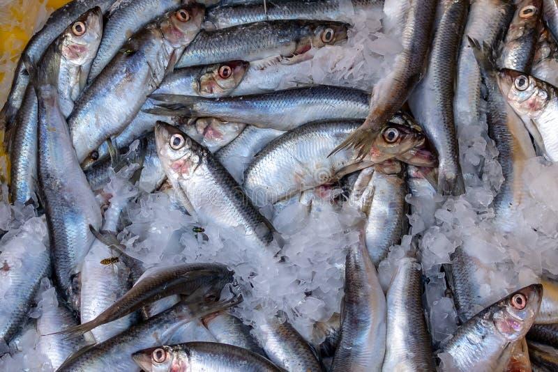 Atlantyckiego śledzia ryba w lodzie zdjęcia stock