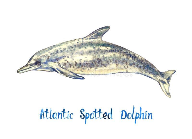 Atlantyk dostrzegał delfinu, odizolowywającego na białym tle royalty ilustracja