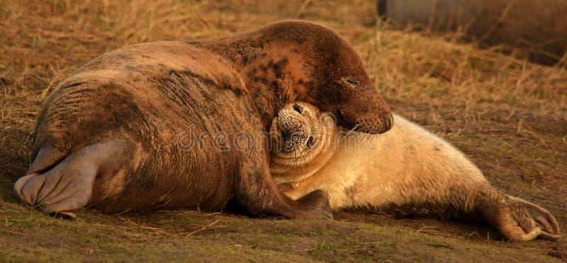 Atlantyk foki popielata matka i ciucia cuddling zdjęcia royalty free