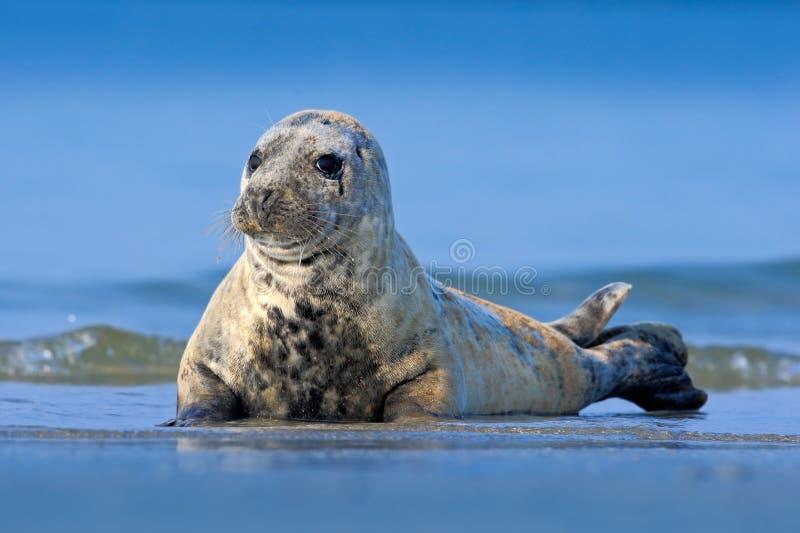 Atlantyk Popielata foka, Halichoerus grypus, szczegółu portret przy plażą Helgoland, Niemcy obraz royalty free