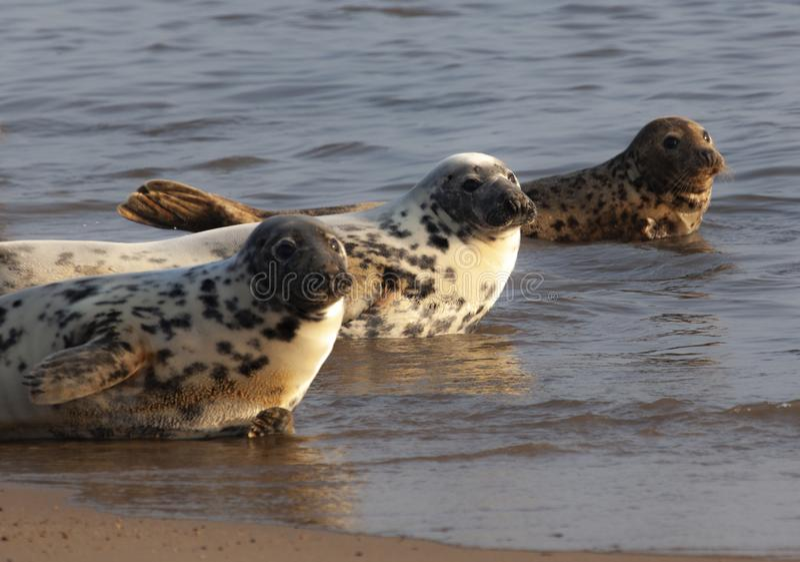 Atlantyk popielata foka na pla?y obraz stock