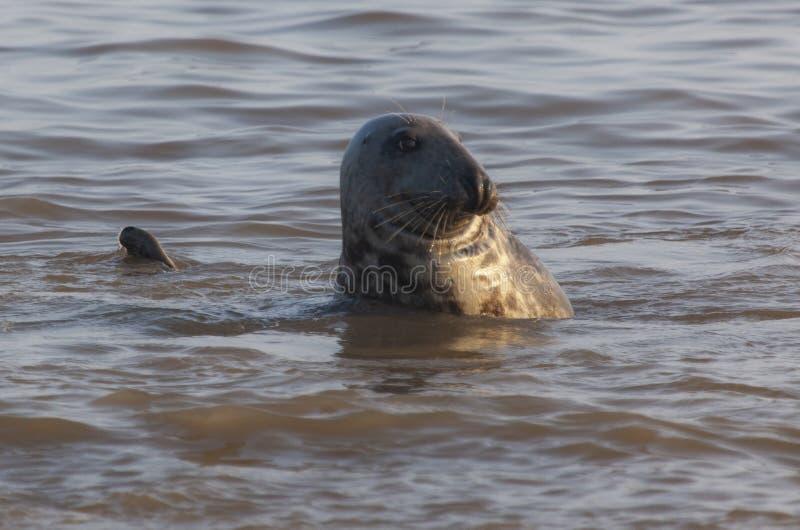 Atlantyk popielata foka na pla?y obrazy royalty free