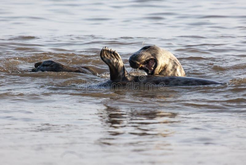 Atlantyk popielata foka na pla?y fotografia royalty free