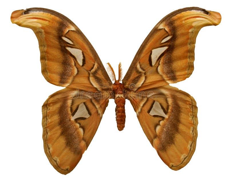 Atlas Moth royalty free illustration