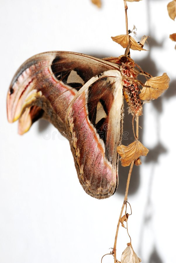Download Atlas Moth stock image. Image of lepidoptera, head, ophidian - 9137487