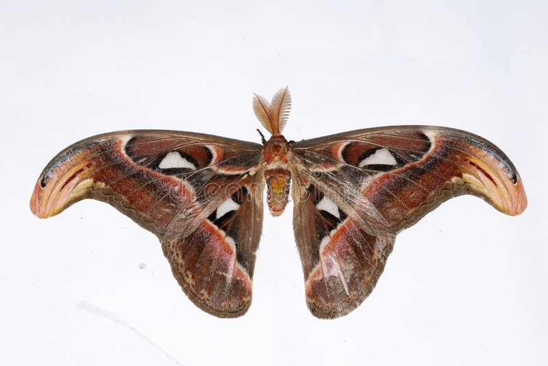 Download Atlas Moth stock photo. Image of asia, background, fragility - 9137558