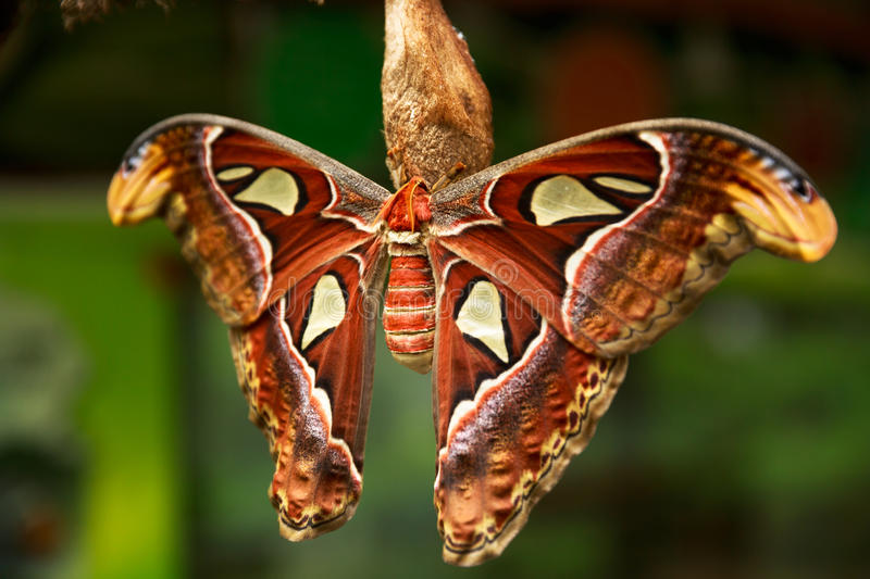 The Atlas moth Attacus atlas, Beautiful big butterfly royalty free stock photography