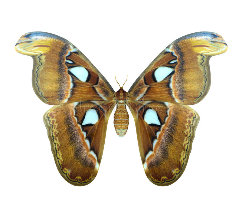 Atlas moth or Attacus atlas is a large butterfly royalty free stock photo