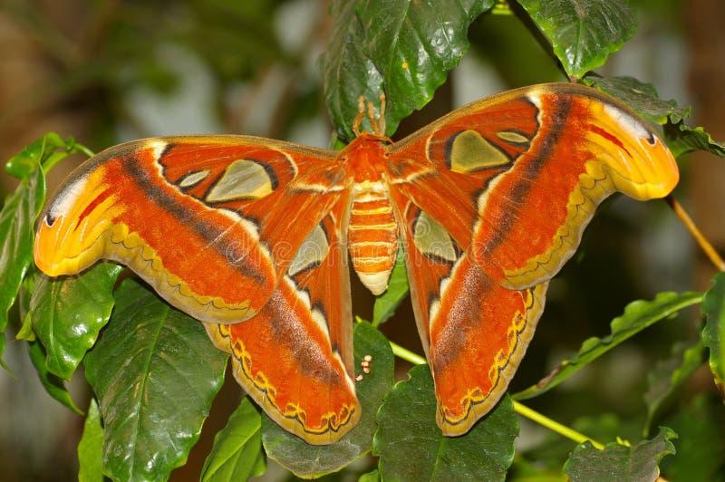 Atlas Moth royalty-vrije stock afbeeldingen