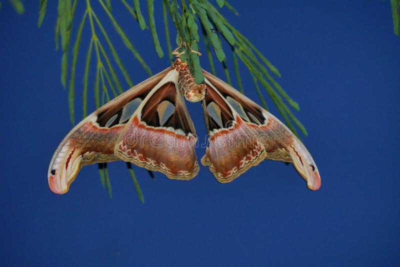 The Atlas Moth. Attacus Atlas. stock images