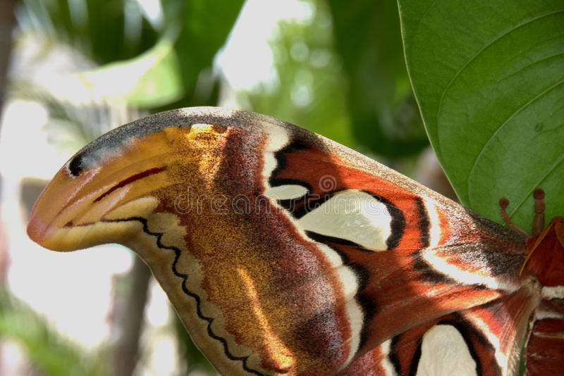 The Atlas Moth close up of the wing tip. The Atlas Moth close up of the wing tip showing snake head design. Attacus Atlas World`s largest Moth. . Chiang Mai stock photos