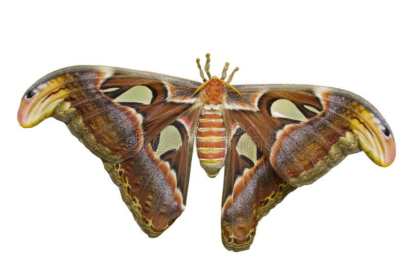Download Atlas Moth Cutout stock image. Image of wings, isolated - 6942197