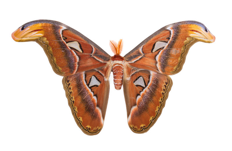 Atlas Moth isolated on white background stock photo