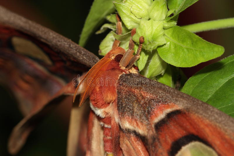 Atlas moth. stock photography