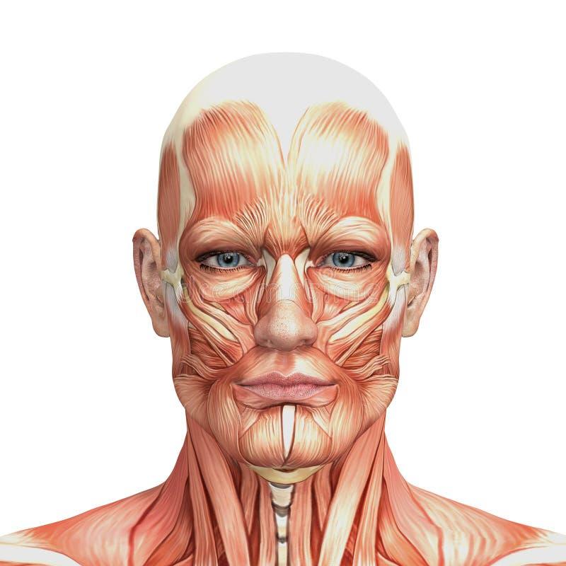 Atletische mannelijke menselijke anatomie en spieren royalty-vrije illustratie