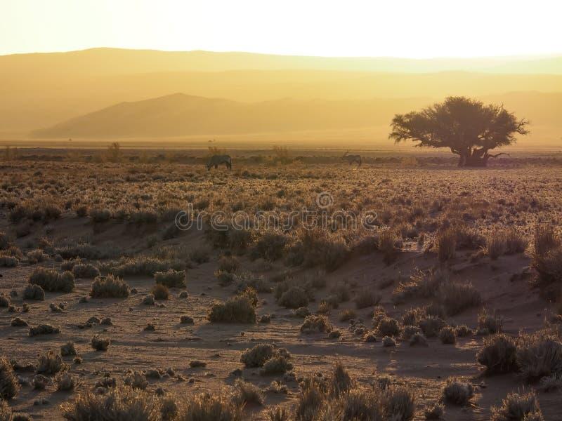 Atmósfera de la luz del sol de la tarde del paisaje secado extenso del desierto del prado con la manada del gemsbok, el árbol gra imagen de archivo