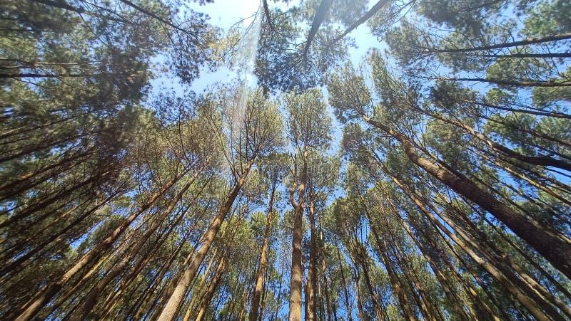 a atmosfera do meio-dia como o brilho do sol com a frescura na floresta bonita do pinho imagens de stock