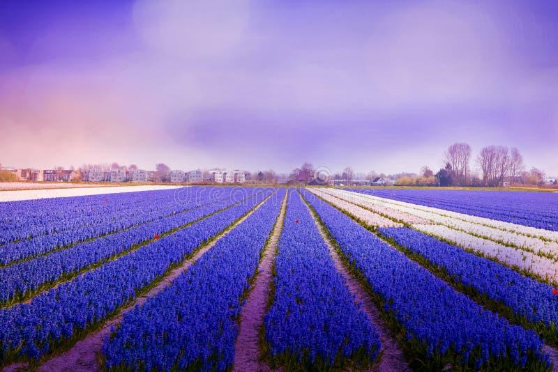 Atmosfera viola nel campo del giacinto alla luce di mattina immagini stock