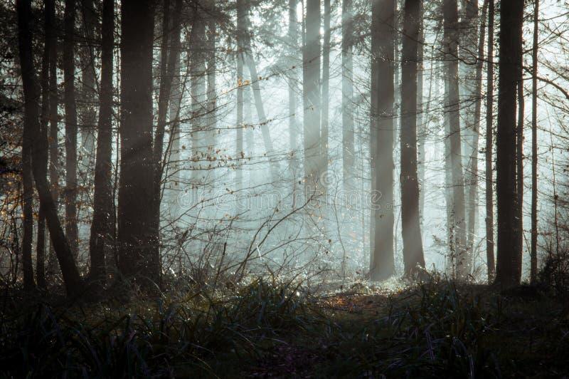 Atmosferyczny, markotny las z drzewami sylwetkowymi przeciw słońcu, promienieje na mglistym jesień ranku zdjęcia royalty free