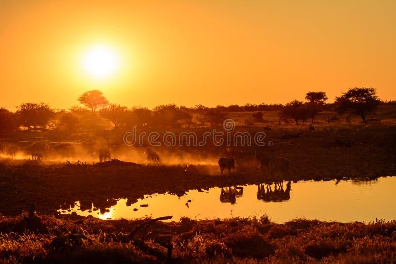 Atmosphärisches Bild des Zebras an einem waterhole bei Sonnenuntergang stockfoto