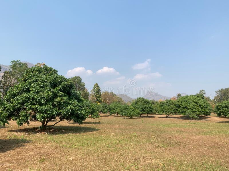 The atmosphere of mango garden under the blue sky with clouds as natural background royalty free stock photos