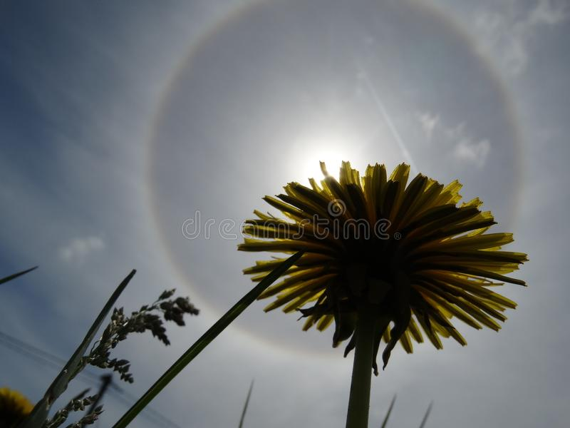 Type of atmospheric optical phenomenon halo through the prism of a dandelion. The atmospheric optical halo phenomenon represents the refraction of sunlight in royalty free stock image