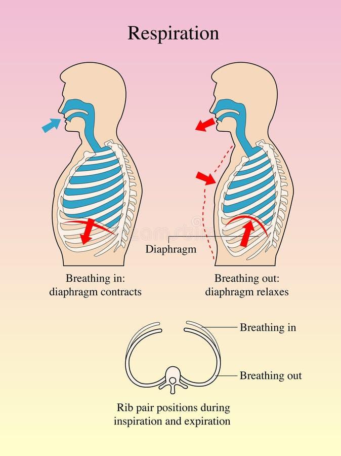 Nett Zellen In Dem Atmungssystem Galerie - Anatomie Ideen - finotti.info