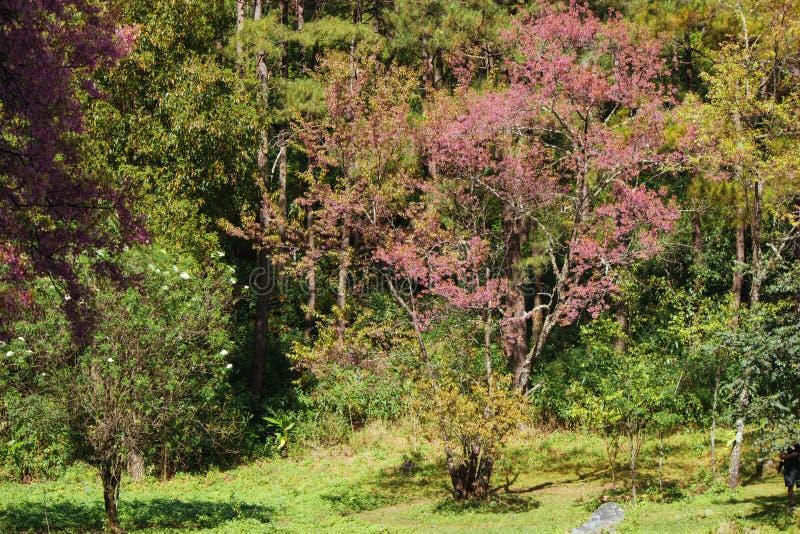 Atorchidagriculture thaïlandais de Sakura de fleurs de cerisier, ChaingMai, Thaïlande images libres de droits