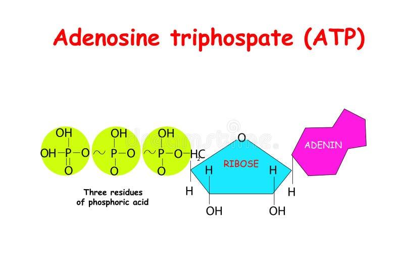 ATP del trifosfato de adenosina en el fondo blanco El ATP proporciona energía para conducir muchos procesos en las células vivas, stock de ilustración