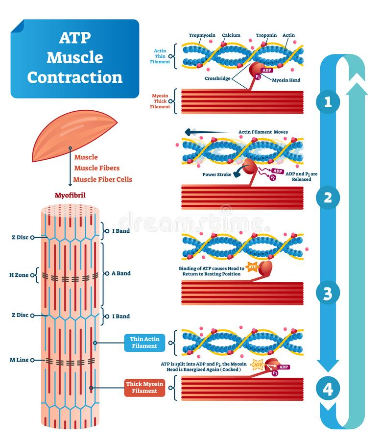 ATP muscle contraction cycle vector illustration labeled educational scheme stock illustration