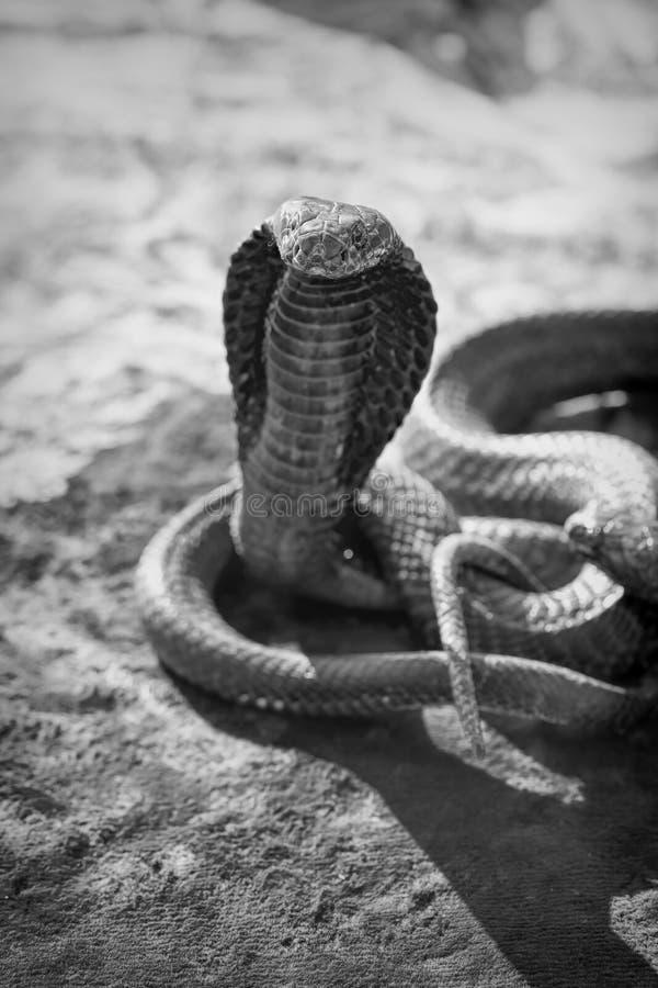Atração turística da serpente da cobra imagens de stock royalty free