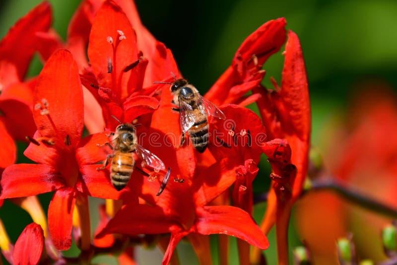 Atraído pela flor vermelha colorida de Montbretia, as abelhas procuram pelo néctar foto de stock royalty free