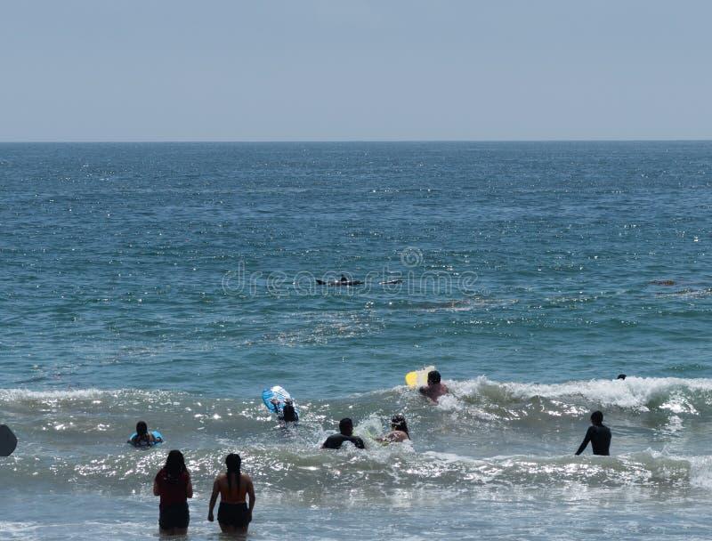 Atraído pelas multidões enormes na praia de Zuma em Malibu, Califórnia, em Memorial Day, uma vagem pequena dos golfinhos aproxima imagens de stock royalty free