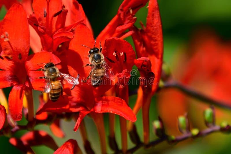 Atraído por la flor roja colorida de Montbretia, las abejas buscan para el néctar fotografía de archivo
