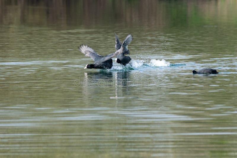 Atra del fulica de las fochas que muestra comportamiento territorial que lucha agresivo en primavera temprana fotos de archivo