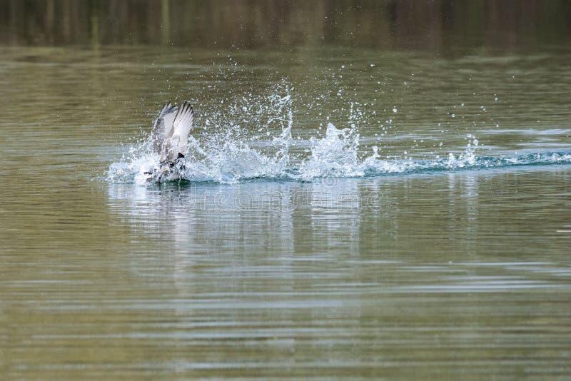 Atra del fulica de las fochas que muestra comportamiento territorial que lucha agresivo en primavera temprana imágenes de archivo libres de regalías