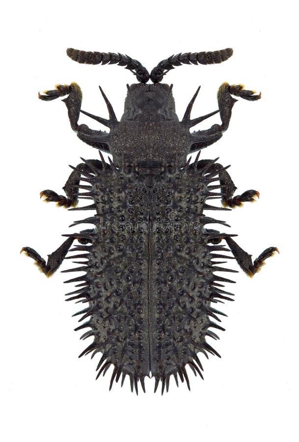 Atra di Hispa dello scarabeo fotografie stock libere da diritti