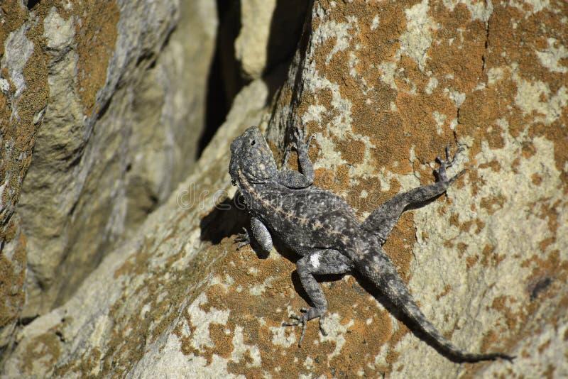 Atra meridional del Agama del lagarto del Agama de la roca que toma el sol, Uvongo, Suráfrica imagen de archivo libre de regalías