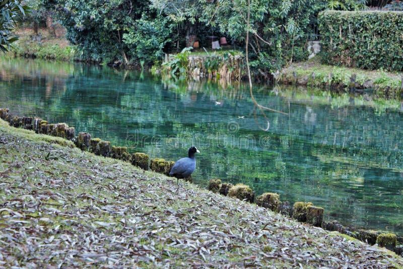 Atra van koetfulica is één van de aquatische species in Veneto met honderden paren het nestelen royalty-vrije stock foto