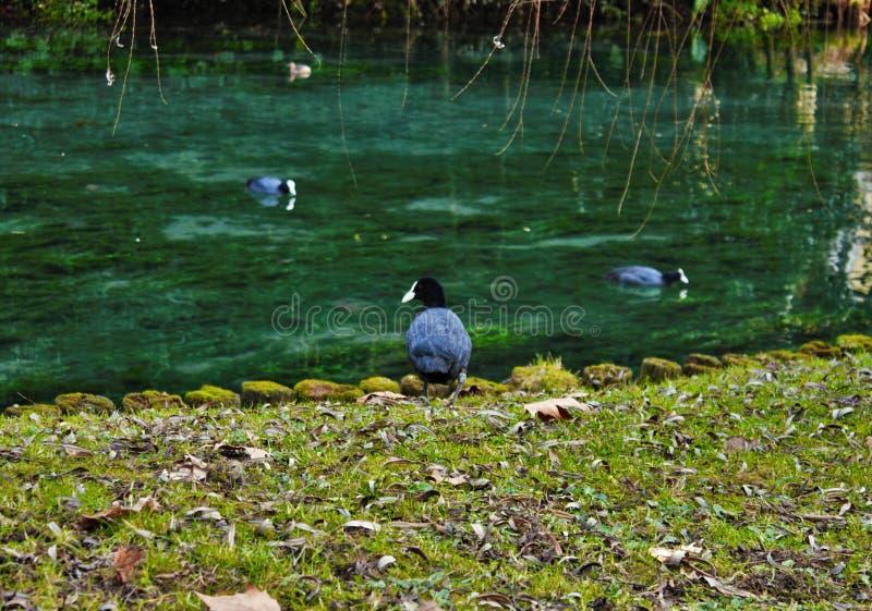 Atra van koetfulica is één van de aquatische species in Veneto met honderden paren het nestelen stock fotografie