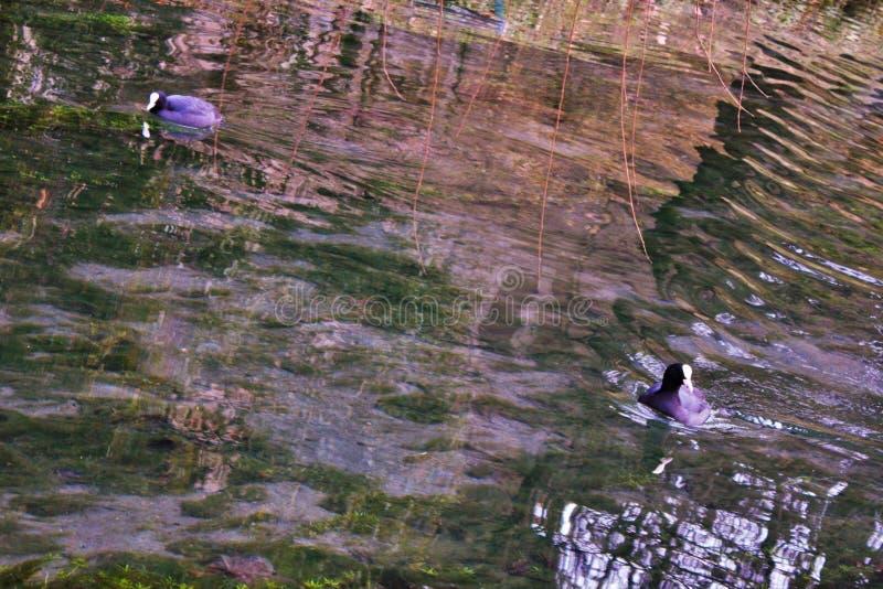 Atra van koetfulica is één van de aquatische species in Veneto met honderden paren het nestelen royalty-vrije stock fotografie