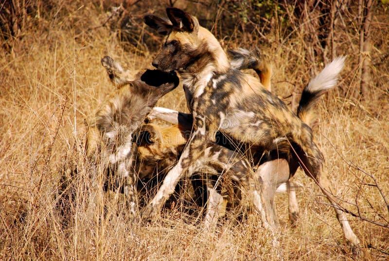 Atracando-se cães selvagens africanos fotografia de stock royalty free