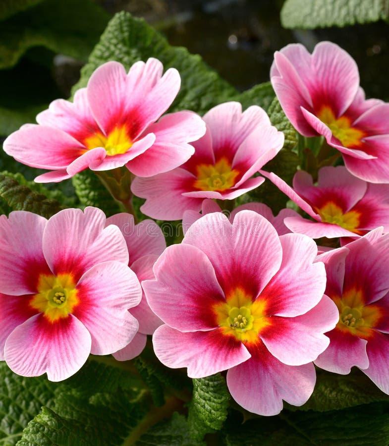 Atrakcyjni Różowi kwiaty Pierwiosnkowa roślina zdjęcia royalty free