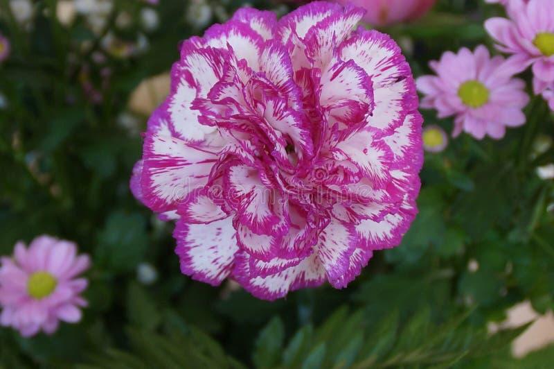 Atrakcyjny kwiat menchii i bielu kolory - Frontowy widok zdjęcie royalty free