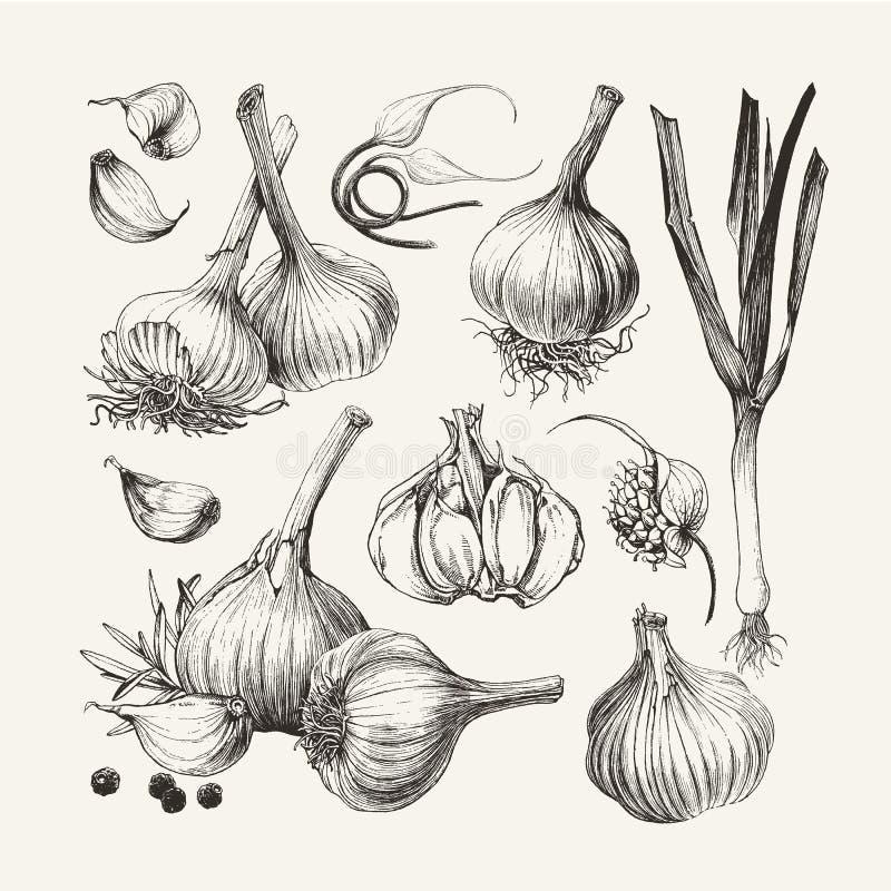 Atrament rysująca kolekcja czosnek ilustracji