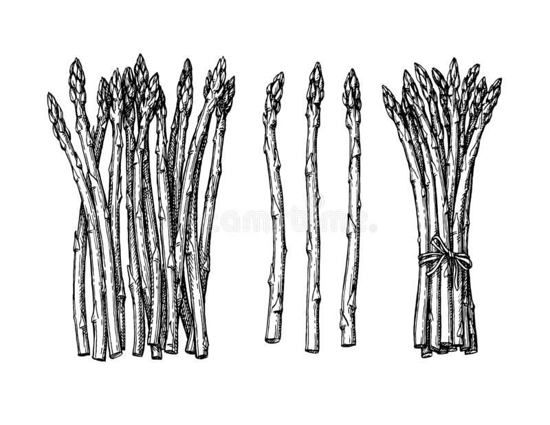 Atramentu nakreślenie asparagus royalty ilustracja